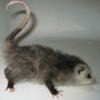 Мерзкий опоСум: opossum