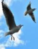 big_blue_heron