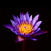 lotusflower85 userpic