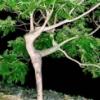 jer832: Ballerina tree