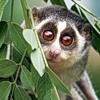 lemur big eyes