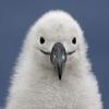 D Helmer: meowface albatross