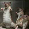 fannishliss: Angry Rat!