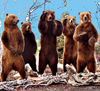 Рой медведей
