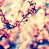 Sky: [other] cherry blossoms