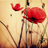 _support, (nature) poppies