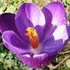 crocus, spring2