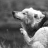 Wolf scratch