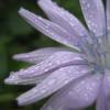 purple, flower