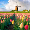 therealsnape: zz tulips and windmill