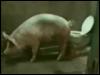 Свиньяша