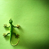 gekko11: gecko