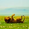 Gini: Lion