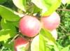 дача, яблоня