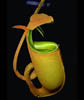 Des: Nepenthes bicalcarata