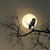 an owl on the sill in the evening: music: Neil Young
