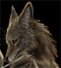 coyoteodin