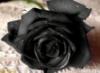 rose_barbar userpic