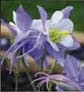 purplecolumbine