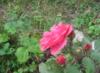 oblako_super: красная розочка