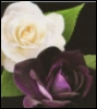 mina_cross: roses