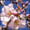 Flor de almendras