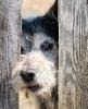 пес в заборе
