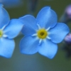 Nature Forget-Me-Not