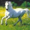 Nature White Horse