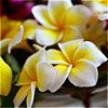 lotusice