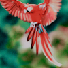 Scarlet/Green-wing Macaw