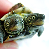 FREAKING TWO-HEADED TURTLE!!