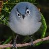 porpurina: angry bird