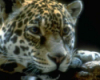 leopard thinking