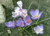 let the sunshine in :): crocus