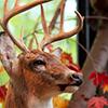 lacie my deer