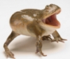 sdiki, budgett frog