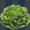 lettuce talk