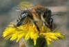 майя пчела