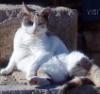 яффская кошка