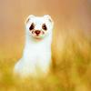 Волли: white weasel