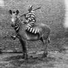 арестант за зебре