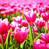 stock: spring flowers