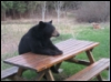 bear (picnic table)