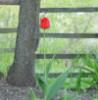afanasii1: Одинокий тюльпан