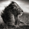 elrhiarhodan: Animal - Lion BW