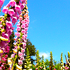 Flower XIX - Foxglove & Sky