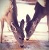 два оленя