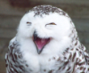 laughting owl