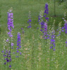 larkspur in may
